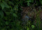 The shy Leopard