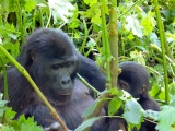 Gorilla with a young one2